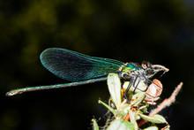 Colorful Odonato Perched On A Branch