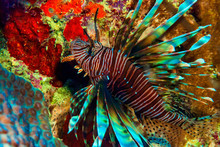 Lion Fish Hunting For Food