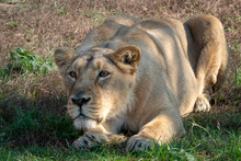 Asiatic Lioness (Panthera Leo ...