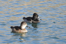 A Pair Of Ring-necked Ducks, M...