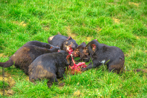Group of Tasmanian Devils, Sarcophilus harrisii, tear down a carcass of dead animal with ferocity and aggravation in nature Canvas Print