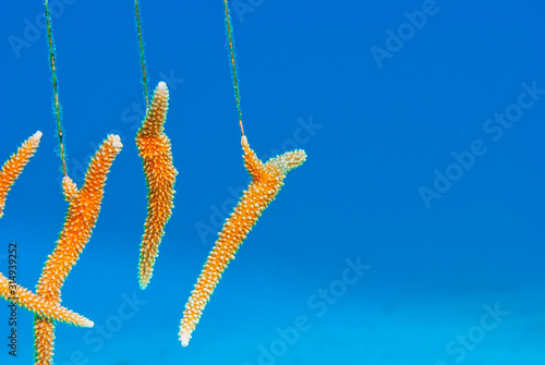 Photo Farming staghorn coral to restore reef