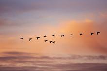 Skein Of Geese In Flight