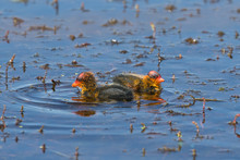 Two American Coot Chicks Swimming In Blue Marsh Surrrounded By Vegetation