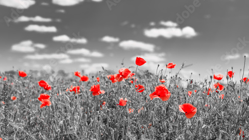 Fototapeta Artistic flower background. Spring summer red poppy flower in soft sunlight, peaceful nature scenery. Petals in sunlight, bright floral closeup. Dramatic nature macro obraz na płótnie