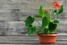 Anthurium Flower In Pot On Woo...