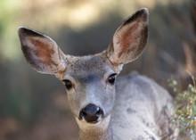 Mule Deer Fawn Close Up Lookin...