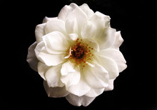 White Flower Isolated On Black...