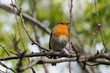 European Robin (Erithacus rubecula) perches on a cherry blossom tree