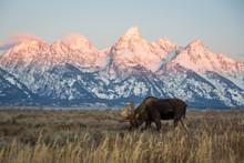 A Bull Moose Eats Grass In A F...