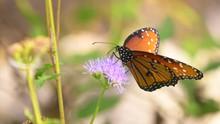 A Queen Butterfly (Danaus Gilippus) Feeding On A Wildflower In Saguaro National Park, Sonoran Desert, Arizona