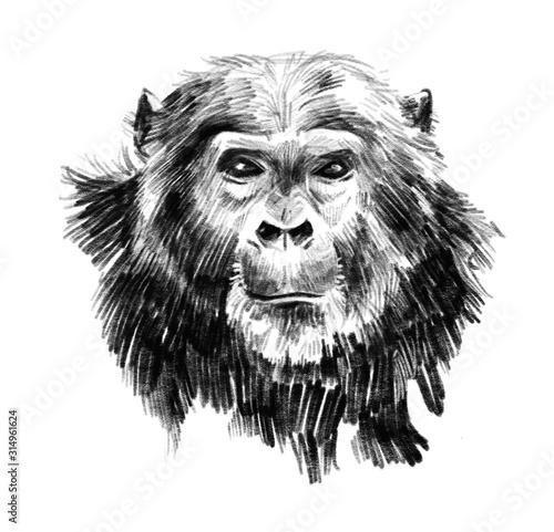 Fotografía Chimpanzee hand drawn portrait realistic