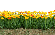Yellow And Red Tulips Isolated...