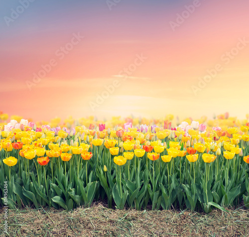 Colorful tulip field Wallpaper Mural