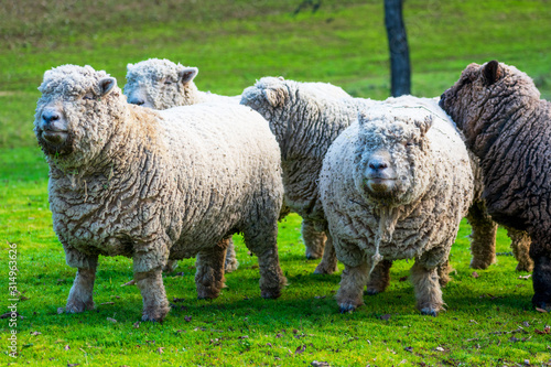 Photo Olde English Babydoll Southdown unsheared hornless sheep on green grass meadow
