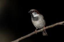House Sparrow On A Backyard Ho...