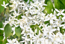 Clematis. The White Flowers Of Clematis Vines And The Garden. Horizontal Photo