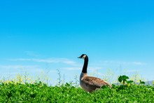 Adult Canadian Goose Walk On G...