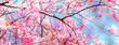 leuchtende kirschbaumblüten