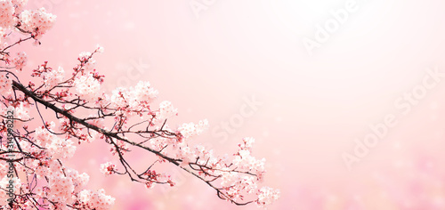 Fototapeta Beautiful magic spring scene with sakura flowers
