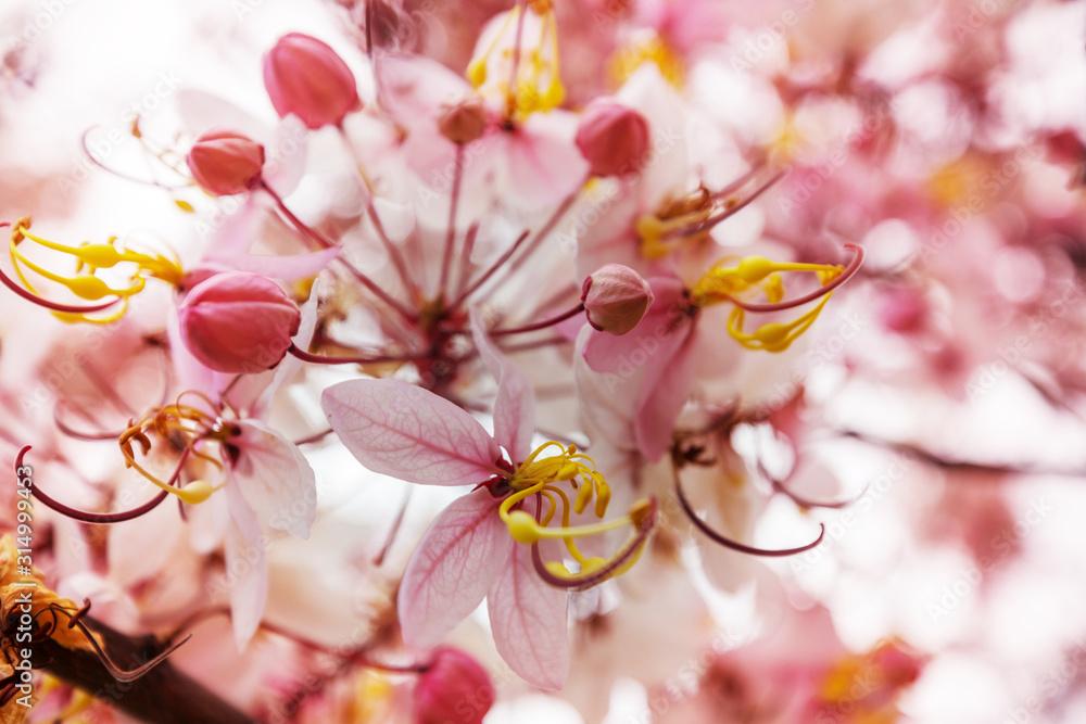 Fototapeta Blossoming cassia