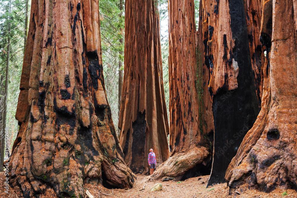 Fototapeta Sequoia