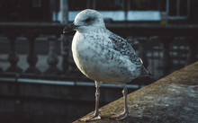 Stern Speckled Seagull