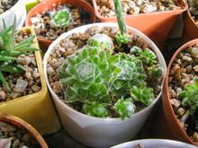 Sempervivum Arachnoideum Plant...
