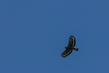 Serpent Eagle Soaring In The B...