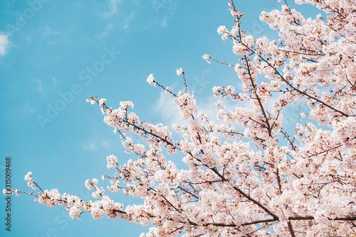 満開の桜 晴天 Canvas Print