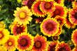 Leinwanddruck Bild - cockade flowers texture