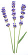 Lavandula or lavender flowers on white background.