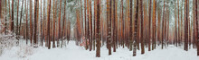 Wide Panorama Of The Winter Pine Forest After A Snowfall