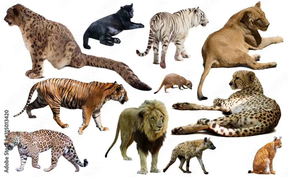 Fototapeta Set of wild mammals isolated over white