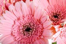 Beautiful Pink Gerbera Flower ...
