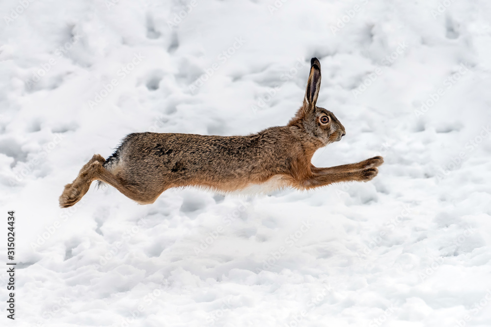 Fototapeta Hare running in the winter field