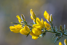 Close Up Common Gorse Blooming