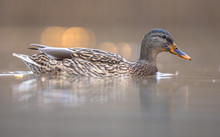 Female Wild Mallard Duck Swimm...