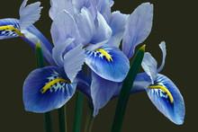 Harmony Dwarf Iris (Iris Retic...