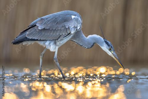 Fototapeta Grey heron hunting stationary in lake