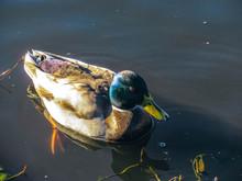 Wild Male Mallard Duck Swimmin...