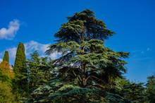 Large Cedar Tree Cedrus Libani Or Lebanese Cedar On Edge Of Huge Meadow In Massandra Park In Crimea. Close-up. Nature Concept For Design.