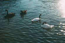 A Black And White Swans