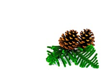 Pine Cones And House Pine (Norfolk Island Pine) Leaves Isolate On White Background.