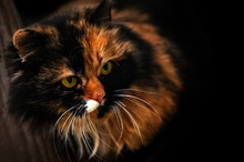 Close-up Of Head Of Calico Cat...