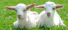 Two Cute Baby Goats Are Sitti...