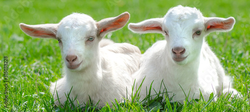 Foto Two cute baby goats are sitting on a green meadow