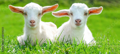 Leinwand Poster Two cute baby goats are sitting on a green meadow