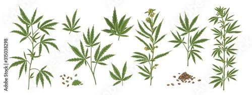 Fényképezés Set of different realistic green hemp with seeds