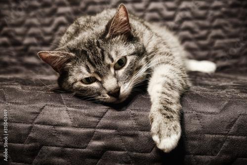 Fotografie, Tablou  Diseased cat lies sad dangling paw